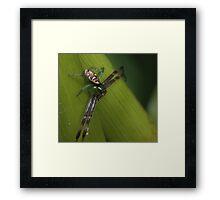 African mask crab spider Framed Print
