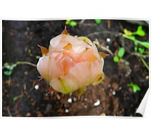 Cactus Flower Bud Poster
