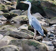 Heron at Egton Bridge by dougie1page2