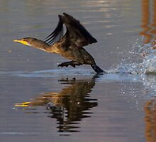 Cormorant Lift-off by Marvin Collins