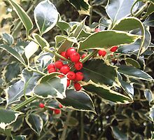 Holly berries by rualexa