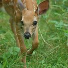 Curious fawn by Jill Vadala
