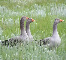 Three Pilgrim Geese by Marie Smith