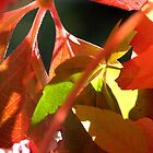 Boston Ivy Autumn - Daylesford Victoria by SuziTC