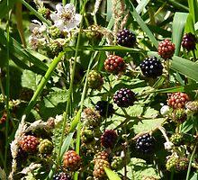 Blackberries and flower on San Juan Island in August by MischaC