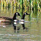 Canada Geese by Trevor Kersley