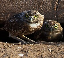 082110 Burrowing Owls by Marvin Collins