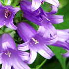 Campanula Kent Bell by Dale Lockridge