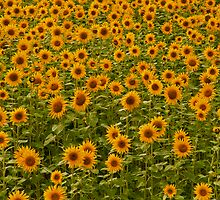 Sunflowers by JMChown