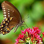 Amazing Butterfly by CarmenLygia