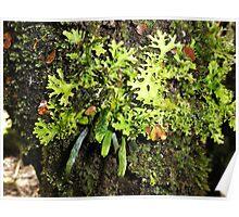 Ribbon Fern, Moss and Lichen, Cradle Mountain,Tasmania, Australia. Poster