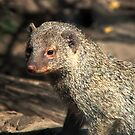 MONGOOSE by Johan  Nijenhuis