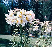 One Lily with 44 Blooms! by Pat Yager