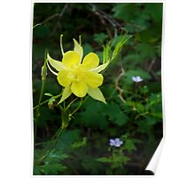 Golden Columbine on Meadow Trail ~ Mt. Lemmon, Catalina Mountains Poster