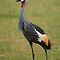 Grey Crowned Crane by naturalnomad