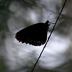 Butterfly Silhouette by evilcat