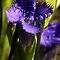 Fringed Purple Gentian by Vickie Emms