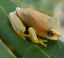 cute little froglet by elsha
