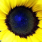 Blue Sun Flower by sedge808