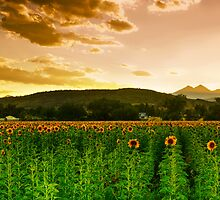 A Rural Sunflower Sky by John  De Bord Photography