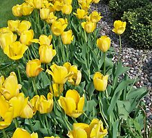 Row of Tulips by Diane Trummer Sullivan