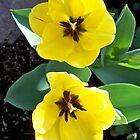 Beautiful Yellow tulips by Diane Trummer Sullivan