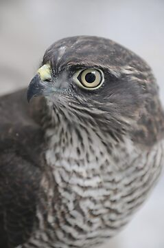 Sparrowhawk &#x27;Buffy&#x27; by Simone Kelly