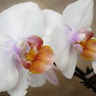 Orchids by emilygoodwin