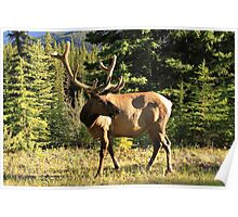 Magnificent Elk Poster