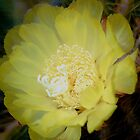 Yellow cacti flower by loiteke