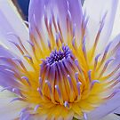 Lotus Flower - Macro - Esk River by Sandy MacLean