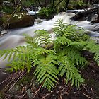 Austral King Fern - Murrindindi River by Travis Easton