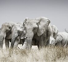 Gentle Giants - Namibian Elephant Herd by Sally  Wellbeloved