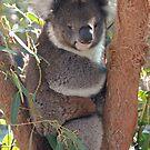 Koala Bear by Dave Cauchi
