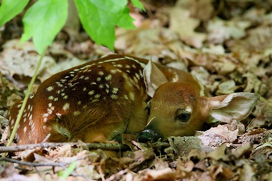 Newborn / White-tailed Deer Fawn by naturalnomad