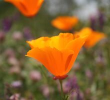 California poppies by kimmypncal