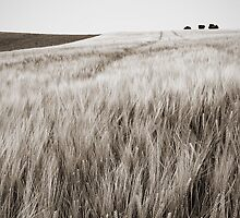 standing panorama of wheat field. sepia/lowkey by ejkej0046