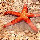 Sea star by Aleksandra Misic