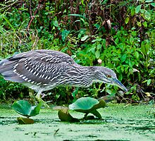 Juvenile Black-Crowned Night Heron -2 by (Tallow) Dave  Van de Laar