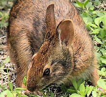Wild Brown Rabbit by Rosalie Scanlon