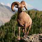 Big Horn Sheep #3 by JimGuy