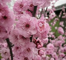Pink Blossoms Rule by beeden