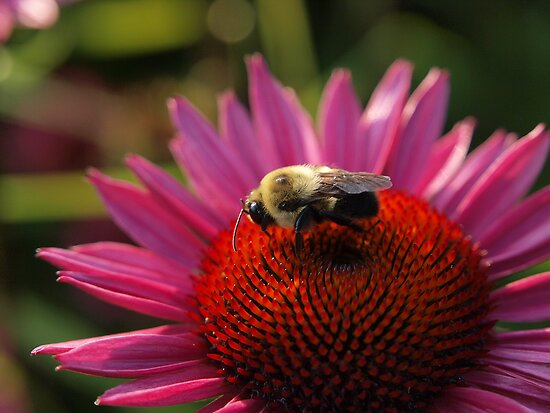 Bumble Bee by Stan Wojtaszek