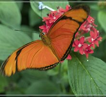 Butterfly from the house of Orange by foppe47