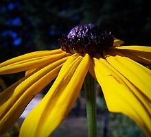 Black Eyed Susan by Jonice
