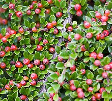Berries, Berries, Everywhere by Lynne Morris