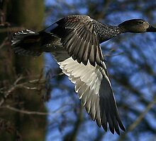 The Gadwall by snapdecisions