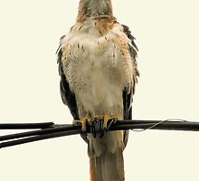 The Red-Tail Hawk (Female) by LaFleureRouge1