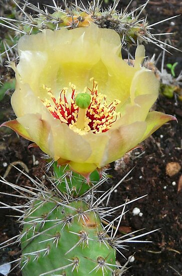 Yellow Cactus Flower by MaeBelle
