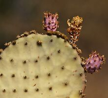Aging Prickly Pear by Richard G Witham